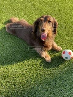 ボールで遊ぶ犬の写真・画像素材[3297669]