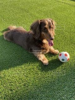 ボールで遊ぶ犬の写真・画像素材[3297677]