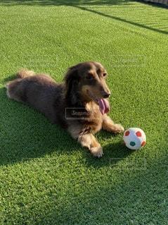 ボールで遊ぶ犬の写真・画像素材[3297671]