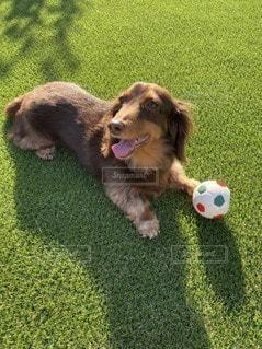 ボールで遊ぶ犬の写真・画像素材[3297673]