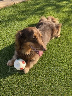 ボールで遊ぶ犬の写真・画像素材[3297672]