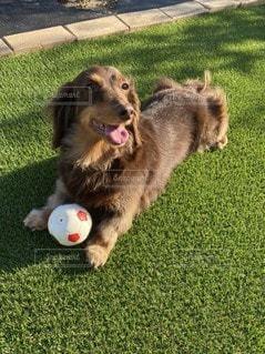 ボールで遊ぶ犬の写真・画像素材[3297675]