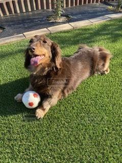 ボールで遊ぶ犬の写真・画像素材[3297679]