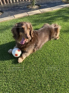 ボールで遊ぶ犬の写真・画像素材[3297678]