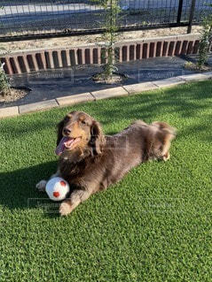 フリスビーで遊ぶ小型犬の写真・画像素材[3297681]