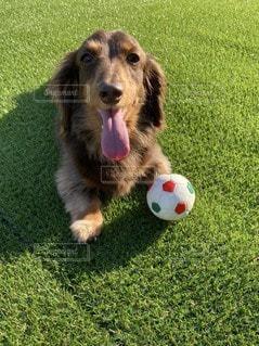 ボールで遊ぶ犬の写真・画像素材[3297680]