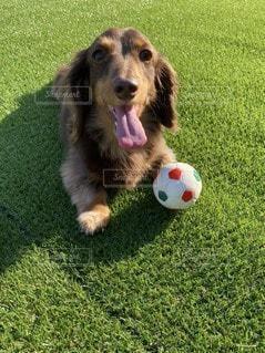 ボールで遊ぶ犬の写真・画像素材[3297682]