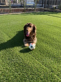 ボールで遊ぶ犬の写真・画像素材[3297688]