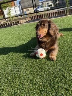 ボールで遊ぶ犬の写真・画像素材[3297685]
