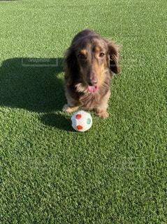 口ボールで遊ぶ犬の写真・画像素材[3297691]