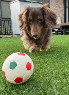 フットボールボールを持っている犬の写真・画像素材[3302735]