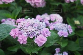 紫陽花のクローズアップの写真・画像素材[3389993]
