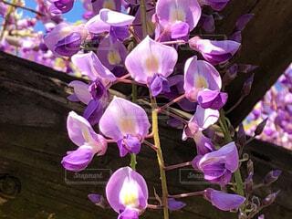紫色の花の写真・画像素材[4328114]