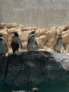 岩の上に立っているペンギンの写真・画像素材[3331786]