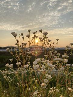 芝生で覆われた畑の上に立つ羊の群れの写真・画像素材[3353356]