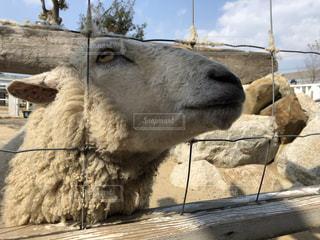 ひょっこり羊の写真・画像素材[3302100]