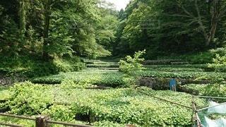 初夏のわさび田の写真・画像素材[3344789]