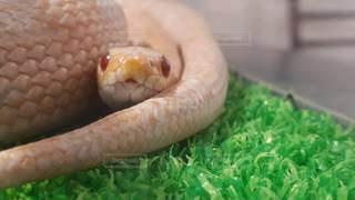 ヘビの写真・画像素材[3310382]