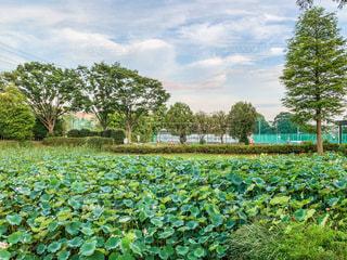 蓮の池のある公園の写真・画像素材[3602050]