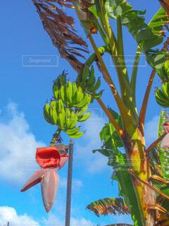 バナナの木の写真・画像素材[4008875]