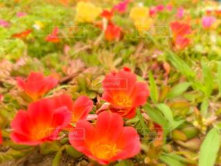 花壇のマツバボタンの写真・画像素材[4597074]