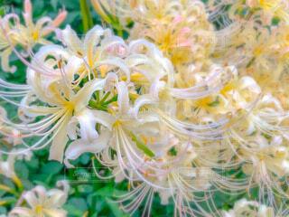 白い彼岸花の写真・画像素材[4819370]