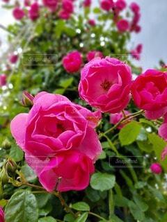 早朝のバラの写真・画像素材[4571252]