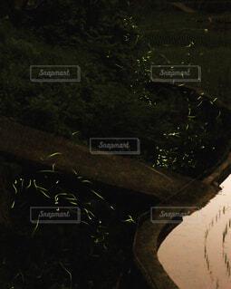 水辺のホタルの写真・画像素材[4541949]