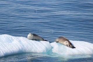 氷山の上でくつろぐあざらし2頭の写真・画像素材[3341236]