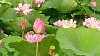 蓮の花の写真・画像素材[3316673]