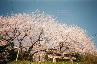 満開の桜の写真・画像素材[3316497]