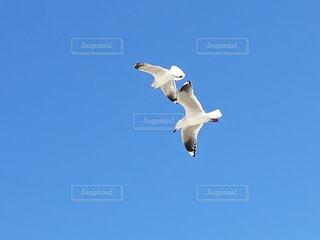 澄んだ青空に飛んでいる鳥の写真・画像素材[3322991]