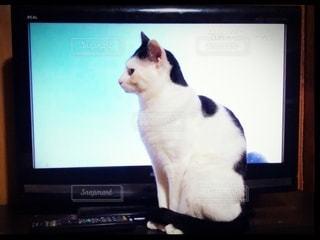 フラットスクリーンテレビの前に座っている猫の写真・画像素材[3326738]