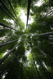 竹の写真・画像素材[3636085]
