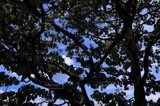 木の葉の隙間から見える青い空の写真・画像素材[3414258]