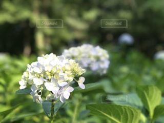 紫陽花の写真・画像素材[557444]