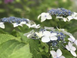 紫陽花のフラワー ガーデンの写真・画像素材[747411]