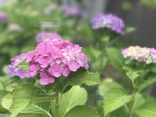 紫陽花の写真・画像素材[747412]