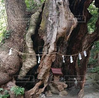 森の中の大きな木の写真・画像素材[3340255]
