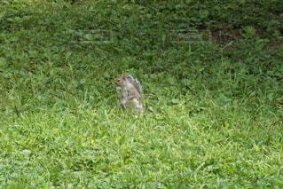 草地に立っているリスの写真・画像素材[3345616]