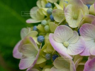 アジサイの花びらの写真・画像素材[3362708]