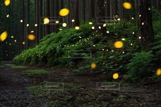 ヒメボタルの発光の写真・画像素材[3392519]