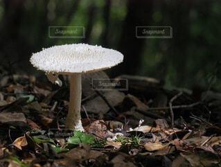 テーブルのような白いキノコの写真・画像素材[3705954]