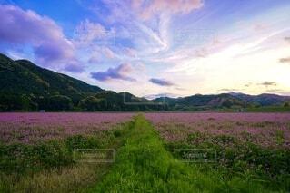 広大なレンゲ畑の夕景の写真・画像素材[4325472]