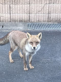 狐が近づいて来たよの写真・画像素材[3347934]
