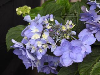 No.140313 紫陽花