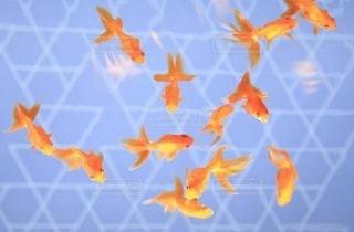 金魚の写真・画像素材[3363205]