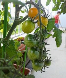 ベランダのトマトの写真・画像素材[3381636]