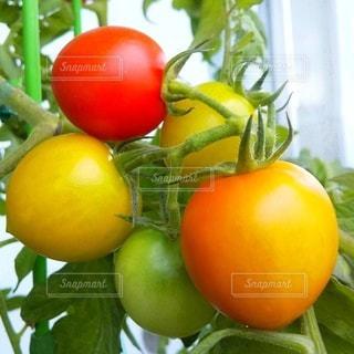 色付くトマトの写真・画像素材[3571936]