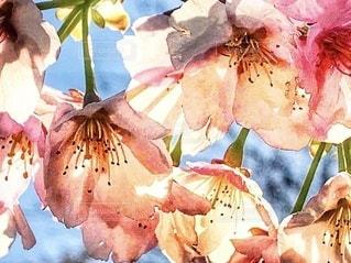 透けた桜の花びら達✨🌸✨の写真・画像素材[3353742]